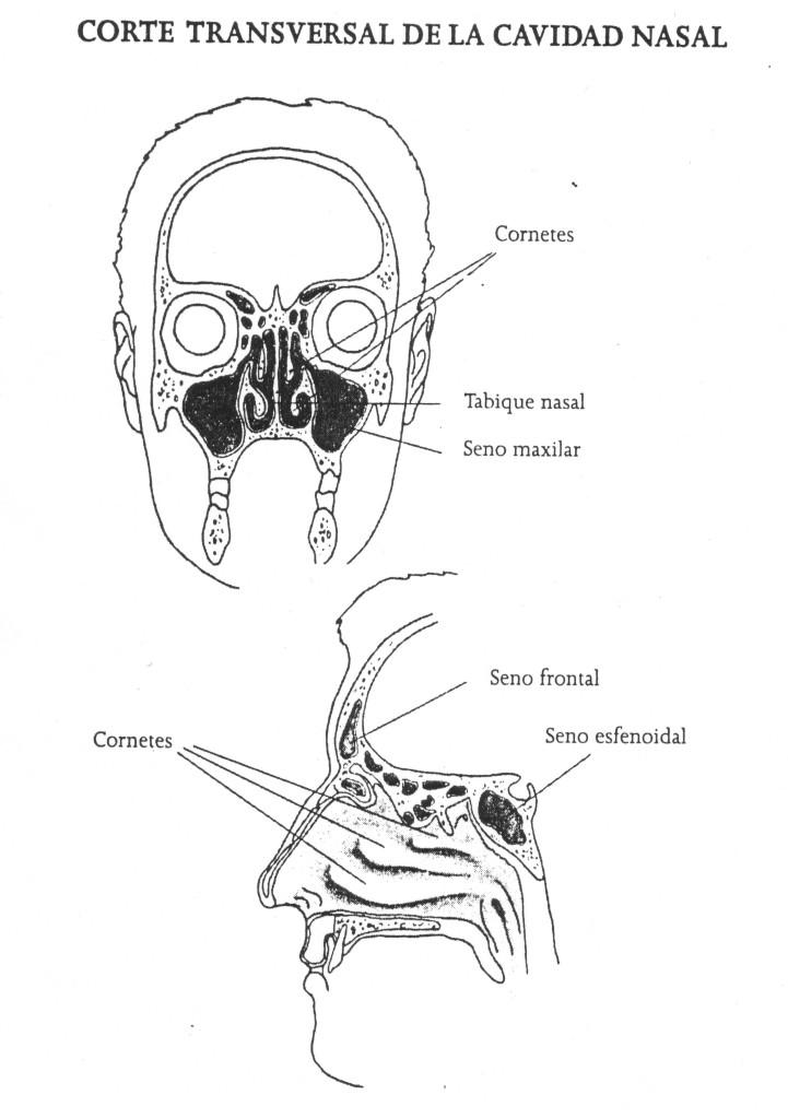 Corte transversal nariz