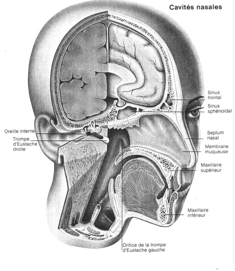 El sistema respiratoria