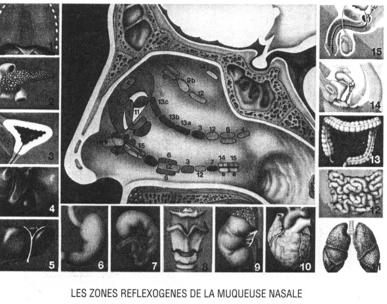 Zonas reflejas mucosa nasal